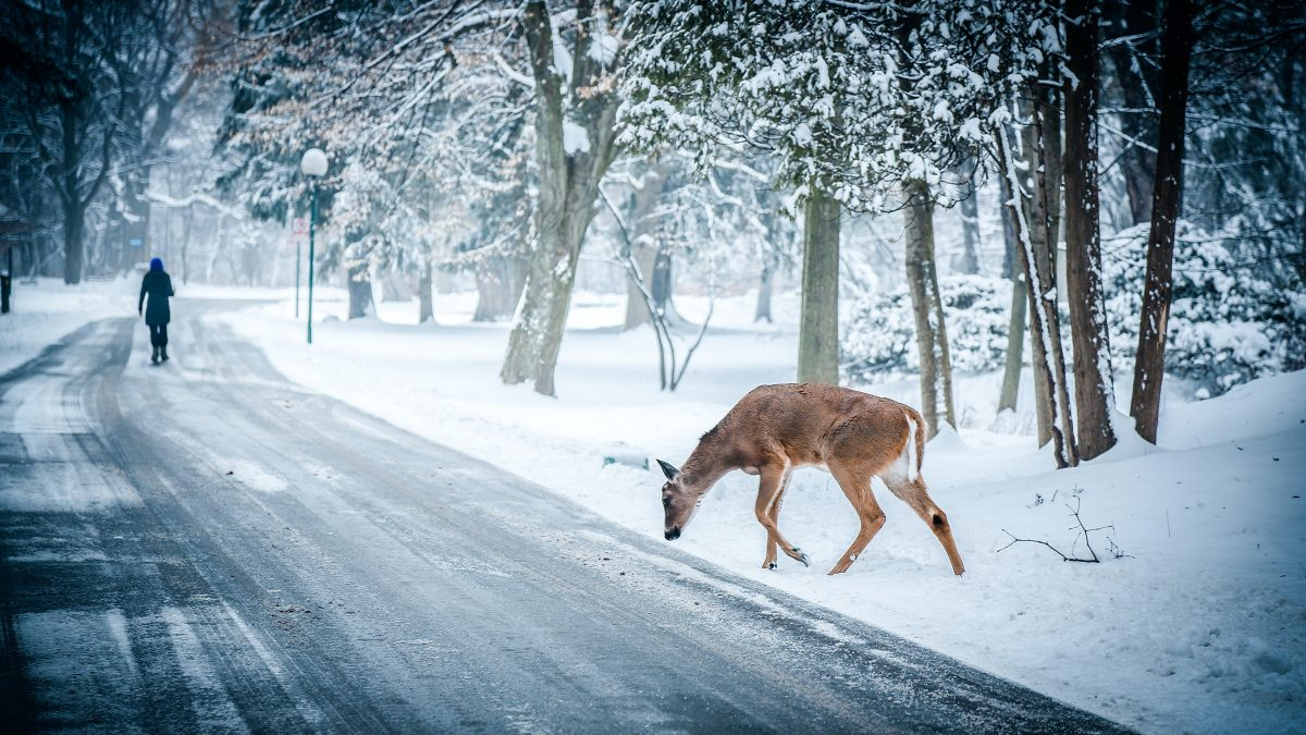 Deer car accidents in Michigan